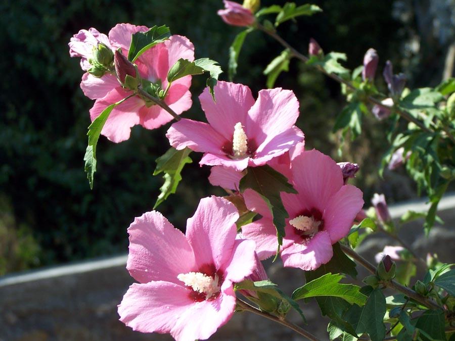 Кустарники. садовые растения фото.