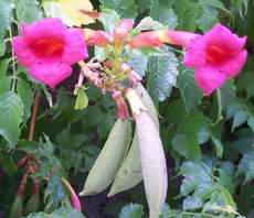 ТЕКОМА, цветы