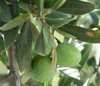 Зеленые плоды маслины