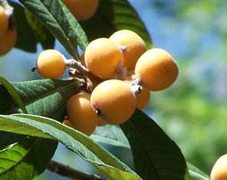 Плоды мушмулы у корпуса Селигер, в Озерном